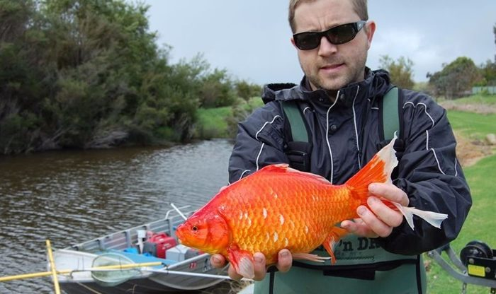Giant Goldfish In Australia, It Is No Longer A Laughing Matter