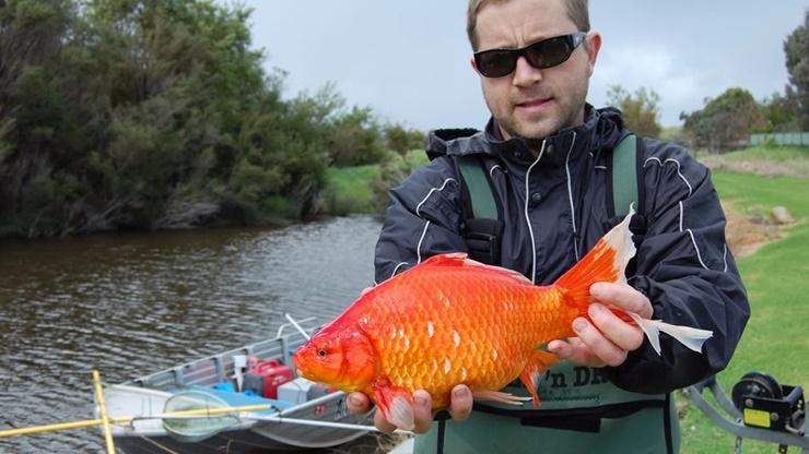 Giant goldfish Australia