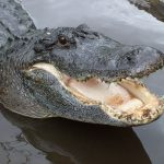 Joni Gaddy Claims Alligators Surrounded Her Flooded NC Home