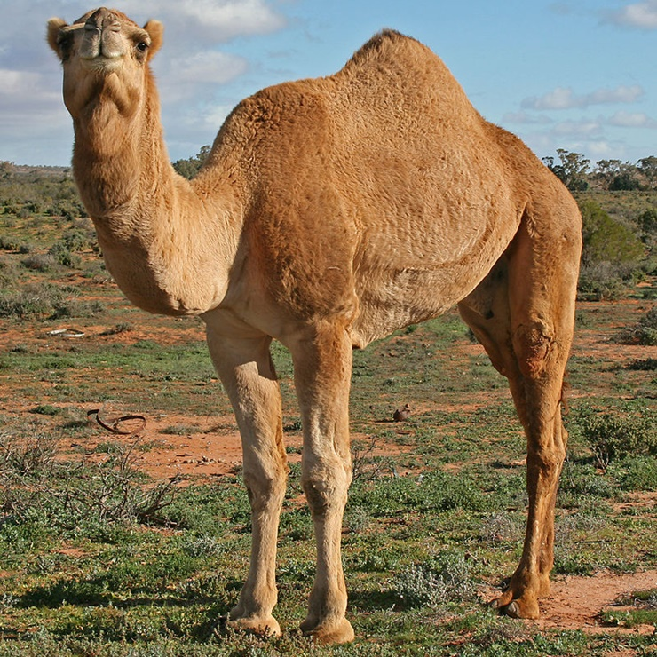 teen-driver-camel-collide-far-from-desert-on-alabama-road